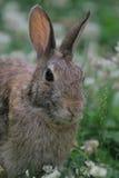 Conejo de rabo blanco del este Fotografía de archivo