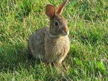 Conejo de rabo blanco del este fotografía de archivo libre de regalías