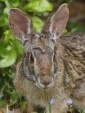 Conejo de rabo blanco del este Rabit - Tejas Imagen de archivo libre de regalías