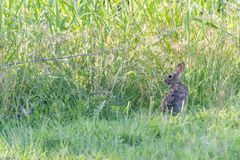 Conejo de conejo de rabo blanco en campo Imagen de archivo