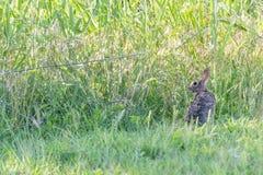 Conejo de conejo de rabo blanco en campo fotos de archivo