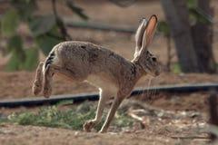 Conejo de conejo de rabo blanco en Jedda, la Arabia Saudita foto de archivo