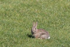 Conejo de rabo blanco joven Fotografía de archivo
