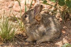 Conejo de rabo blanco joven lindo Fotos de archivo
