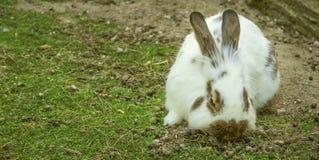 Conejo de conejo de rabo blanco salvaje imagen de archivo