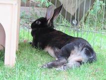 Conejo de reclinación Fotos de archivo libres de regalías