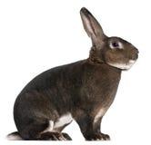 Conejo de Rex del echador imágenes de archivo libres de regalías