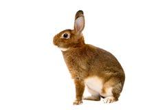 Conejo de Rex del echador sobre blanco Imagen de archivo
