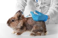 Conejo de vacunación del veterinario imagen de archivo libre de regalías