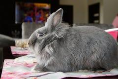 Conejo decorativo de Gray Easter Fotografía de archivo libre de regalías