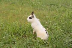 Conejo decorativo nacional en un prado que se coloca en sus piernas traseras Imagen de archivo