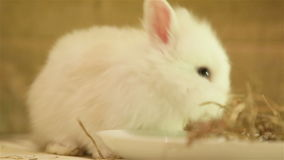 Conejo del angora almacen de metraje de vídeo