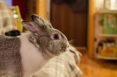Conejo del animal doméstico Fotografía de archivo