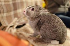 Conejo del animal doméstico Imagen de archivo