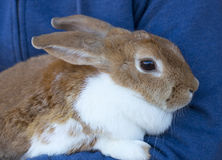 Conejo del animal doméstico Foto de archivo libre de regalías