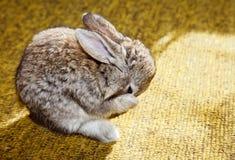Conejo del bebé que se lava Imagen de archivo