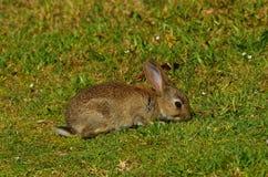 Conejo del campo común de los jóvenes Fotos de archivo