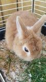 Conejo del enano de Netherland Foto de archivo libre de regalías