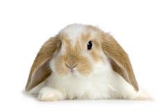 Conejo del Lop Foto de archivo
