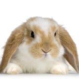 Conejo del Lop Imágenes de archivo libres de regalías