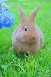 Conejo del rojo de Nueva Zelanda Imágenes de archivo libres de regalías