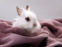 Conejo doméstico blanco Nestled en la toalla de baño violeta fotografía de archivo