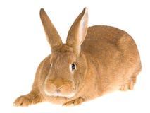 Conejo domesticado rojo de Nueva Zelandia, en la parte posterior del blanco Foto de archivo