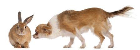 Conejo el oler de la chihuahua Foto de archivo