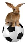 Conejo en balón de fútbol Fotografía de archivo libre de regalías