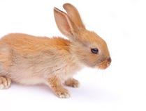Conejo en blanco Foto de archivo libre de regalías