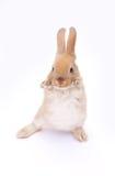 Conejo en blanco Foto de archivo