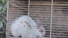 Conejo en el aparador de conejo que come la col y el heno almacen de metraje de vídeo