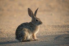 Conejo en el camino Fotografía de archivo