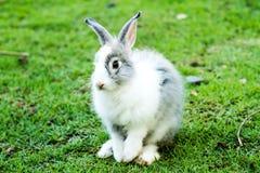 Conejo en el chiangmai Tailandia del nightsafari Fotografía de archivo libre de regalías