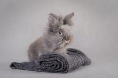 Conejo en el fondo gris Imagenes de archivo
