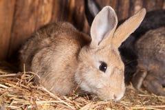 Conejo en el granero Imagenes de archivo
