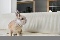 Conejo en el sofá en casa. Imágenes de archivo libres de regalías