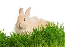 Conejo en hierba Fotografía de archivo