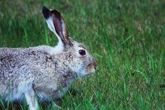 Conejo en hierba Fotografía de archivo libre de regalías
