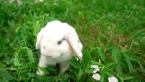 Conejo en hierba verde, pequeño conejo del conejo blanco, poco conejito blanco, cámara lenta almacen de video