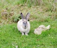 Conejo en la hierba verde, Safari Park Taigan, Crimea imagenes de archivo