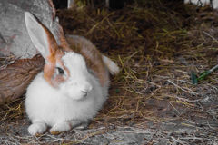 Conejo en la paja Foto de archivo