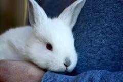 Conejo en las manos del hombre Imagenes de archivo