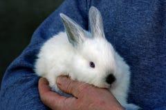 Conejo en las manos del hombre Imagen de archivo