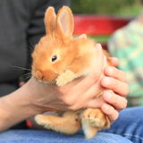Conejo en manos Imagenes de archivo