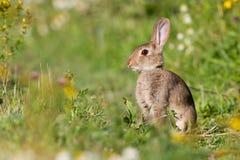 Conejo en prado Imagen de archivo libre de regalías