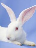 Conejo en un fondo azul Imagen de archivo libre de regalías