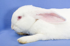 Conejo en un fondo azul Imagen de archivo
