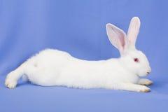 Conejo en un fondo azul Fotos de archivo