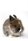Conejo enano fotografía de archivo